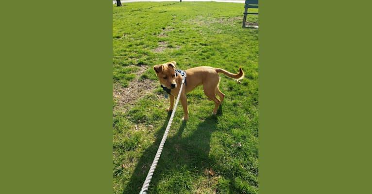 Photo of Freida, a Rottweiler, Siberian Husky, American Pit Bull Terrier, and Labrador Retriever mix in Oklahoma, USA