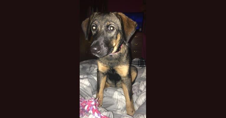 Photo of Zara, a Norwegian Elkhound, Beagle, and Labrador Retriever mix in Campbell, New York, USA