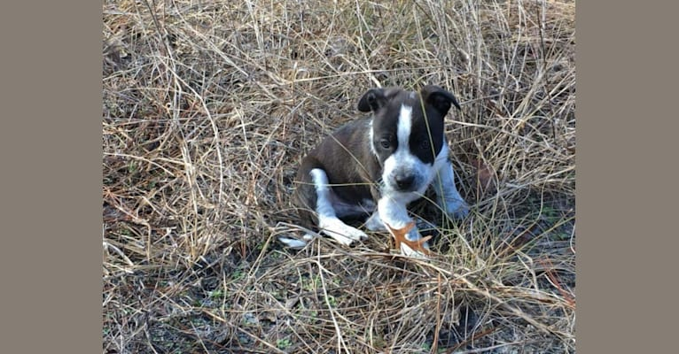 Photo of Carson, an American Bully and Australian Cattle Dog mix in Inverness, Florida, USA