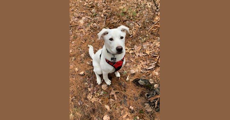 Photo of Colt, a Siberian Husky, American Bulldog, Australian Cattle Dog, and Mixed mix in Mesa, Arizona, USA