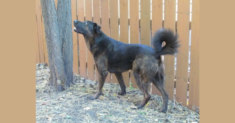 Photo of Henry, a Tibetan Mastiff and German Shepherd Dog mix in Brandon, MB, Canada
