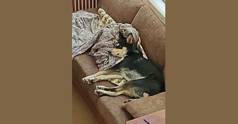 Photo of Rasha Rohan, a Siberian Husky, German Shepherd Dog, Australian Cattle Dog, Australian Kelpie, and Mixed mix in Aztec, New Mexico, USA