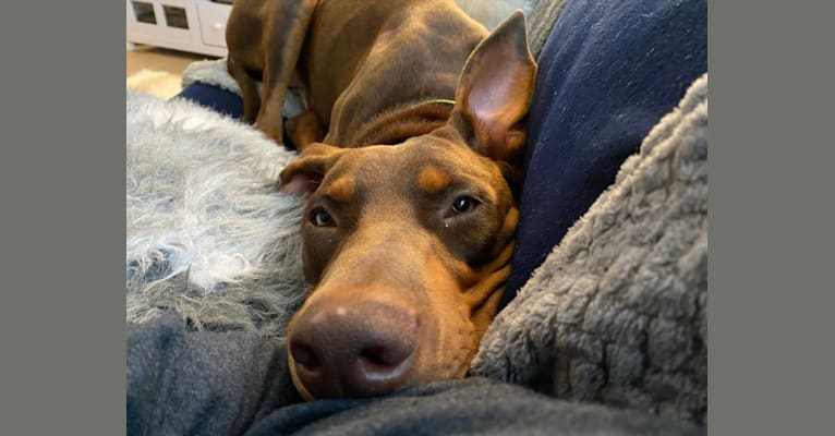 Photo of Basilone, a Doberman Pinscher and American Pit Bull Terrier mix in San Clemente, California, USA