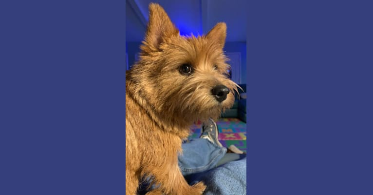 Photo of Cali, a Norwich Terrier  in Palm Springs, California, USA