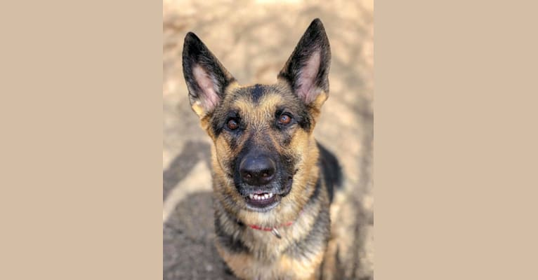 Photo of Ava Lynch, a German Shepherd Dog  in Indiana, USA