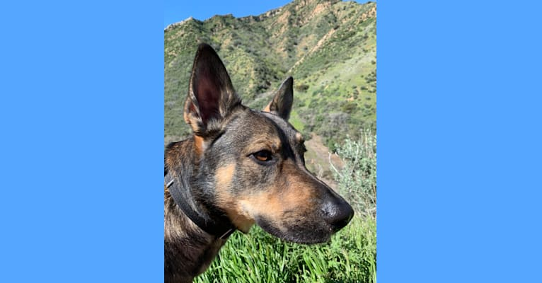 Photo of Buck, a German Shepherd Dog, American Pit Bull Terrier, and American Staffordshire Terrier mix in Santa Clarita, California, USA
