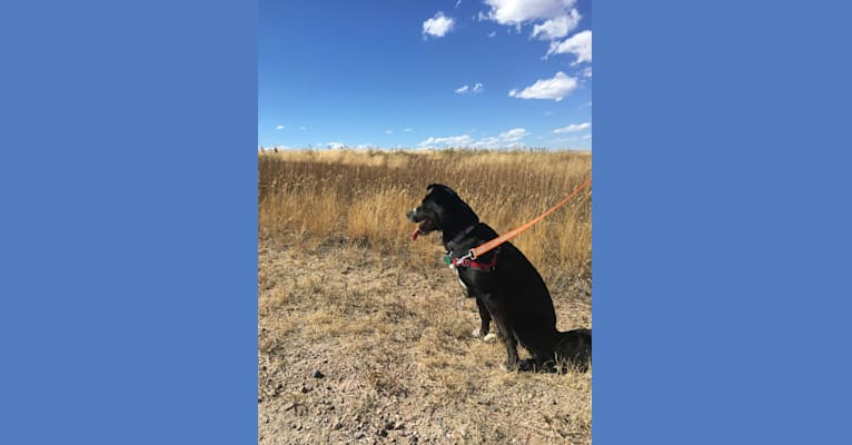 Photo of Dynastar, an American Pit Bull Terrier, Australian Cattle Dog, German Shepherd Dog, and Mixed mix in New Mexico, USA