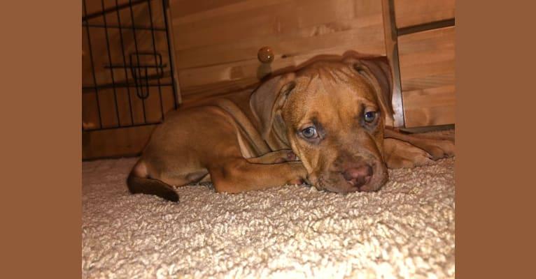 Photo of Jasper, an American Bully  in California, USA