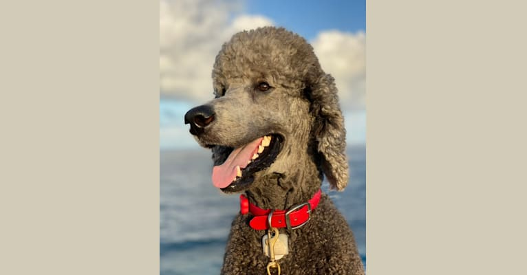 Photo of Jack, a Poodle (Standard)  in New Zealand