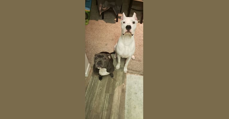 Photo of Luzhenn, a Dogo Argentino  in Alton, TX, USA