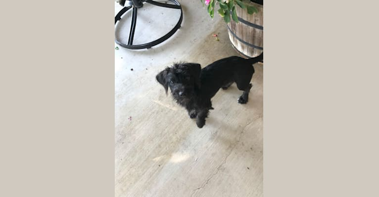 Photo of Cricket, a Chihuahua, Rat Terrier, Miniature Schnauzer, and Poodle (Small) mix in Lockhart, Texas, USA