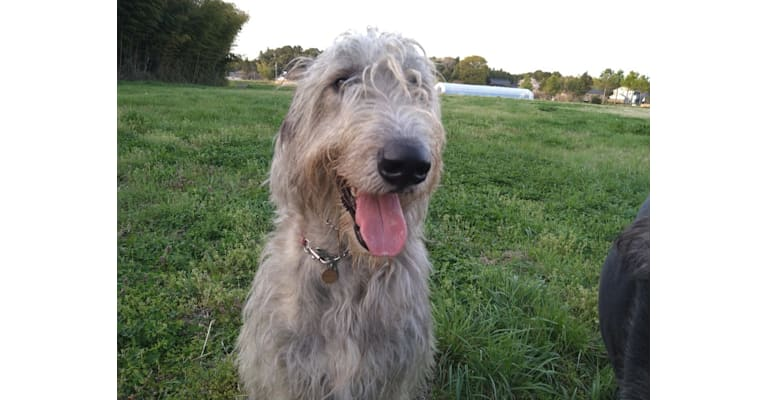 Photo of Mouton, an Irish Wolfhound  in Japan