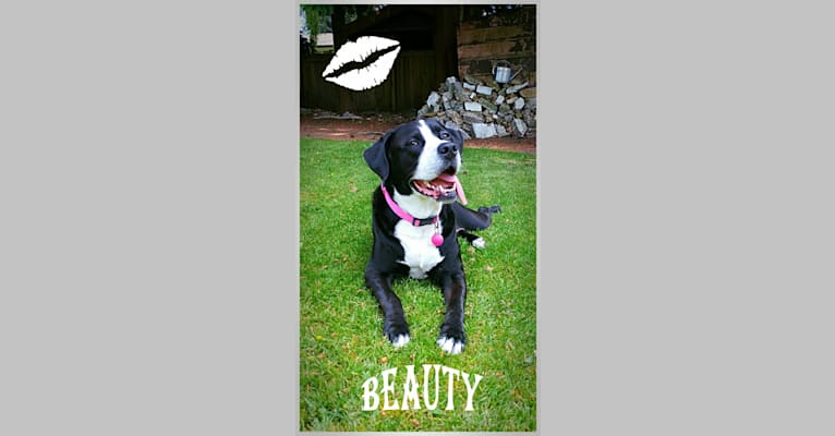 Photo of Kona, an American Bully, Bernese Mountain Dog, and Labrador Retriever mix in Mission, British Columbia, Canada