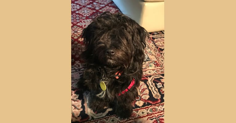 Photo of Posy, a Chihuahua, Shih Tzu, Poodle (Small), Dachshund, Lhasa Apso, and Mixed mix in Bakersfield, California, USA