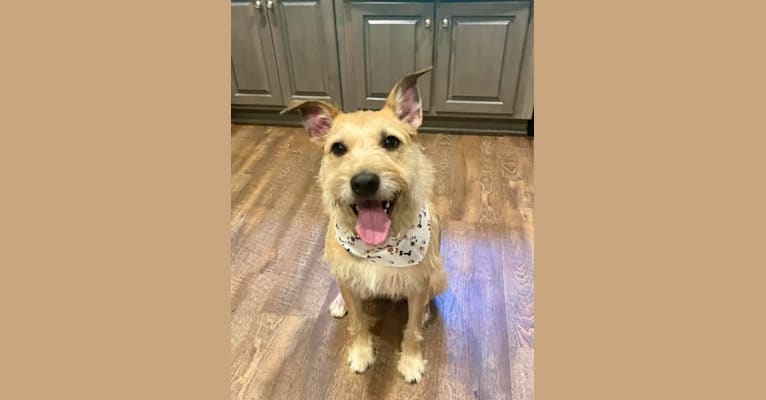 Photo of Whiskey Biscuit, an American Pit Bull Terrier, Boxer, Russell-type Terrier, Miniature Schnauzer, and Mixed mix in Warner Robins, Georgia, USA