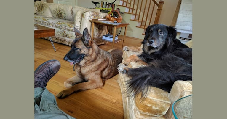 Photo of Cooper, a German Shepherd Dog, Golden Retriever, American Pit Bull Terrier, and Chow Chow mix in Chapel Hill, North Carolina, USA
