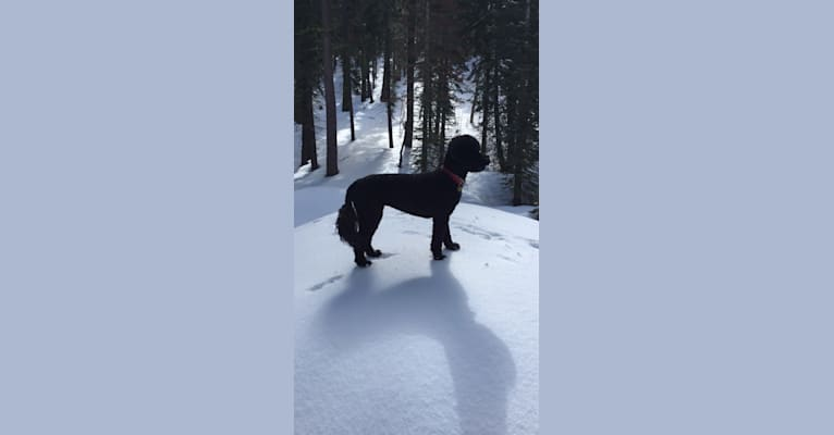 Photo of Bia, a Portuguese Water Dog  in Folsom, California, USA