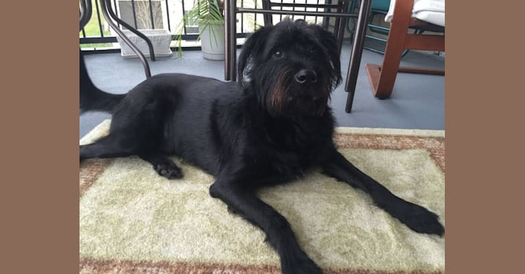 Photo of Dexter, a Rottweiler, German Shepherd Dog, American Pit Bull Terrier, Chow Chow, Collie, and Mixed mix in Alabama, USA