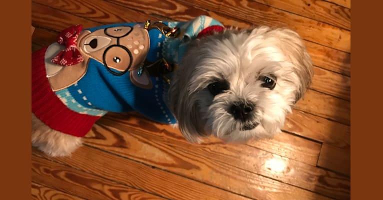 Photo of Leo, a Shih Tzu  in Lynbrook, New York, USA