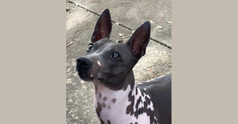 Photo of Saphira, an American Hairless Terrier  in Buckingham, IL, USA