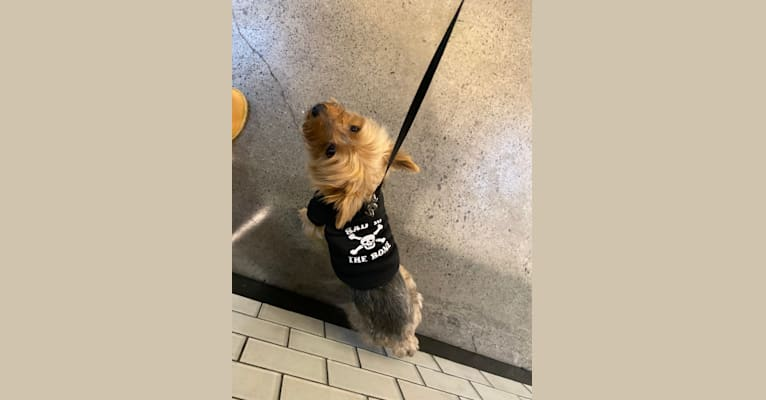 Photo of Mochi, a Yorkshire Terrier  in Berkeley, California, USA