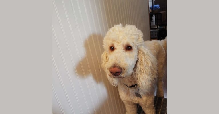 Photo of Sunny, a Poodle (Standard)  in Warrenton, Oregon, USA