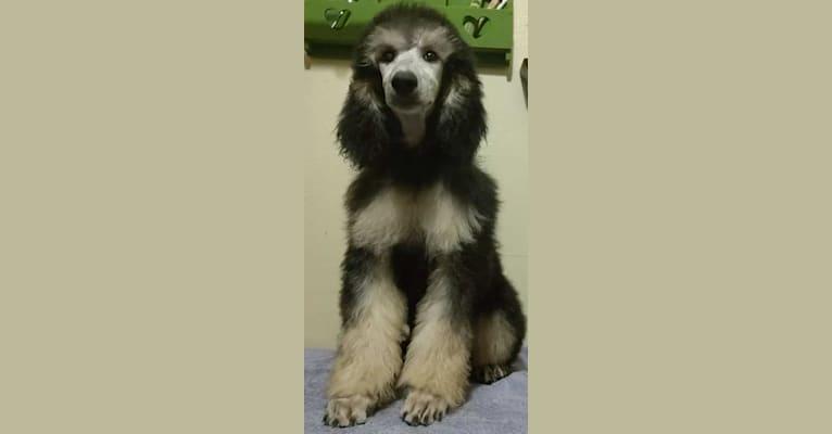 Photo of Ari, a Poodle (Standard)
