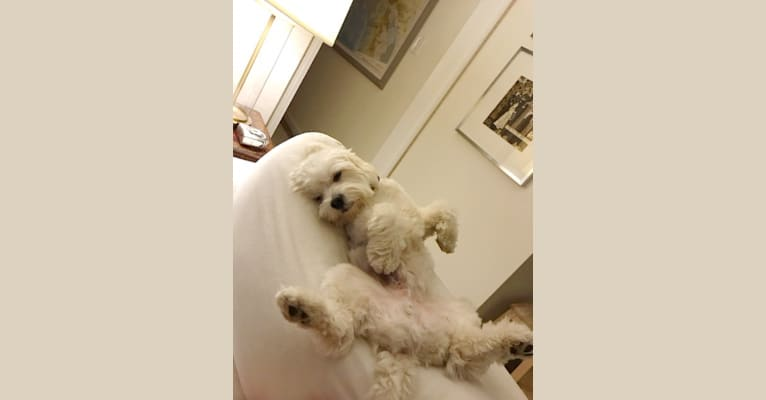 Photo of Oliver Pickles Brenard, a Poodle (Small) mix in Los Angeles, California, USA