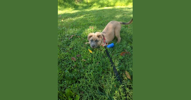 Photo of Poco, an American Pit Bull Terrier, Chow Chow, American Staffordshire Terrier, and Mixed mix in Greenville, South Carolina, USA