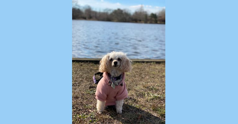 Photo of Angel, a Poodle (Small)  in Islip Terrace, New York, USA