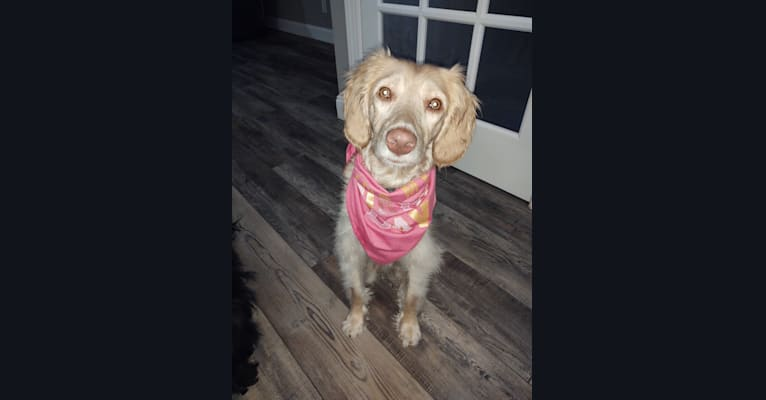 Photo of Sandy, a Poodle (Standard), Poodle (Small), and Labrador Retriever mix in Ohio, USA