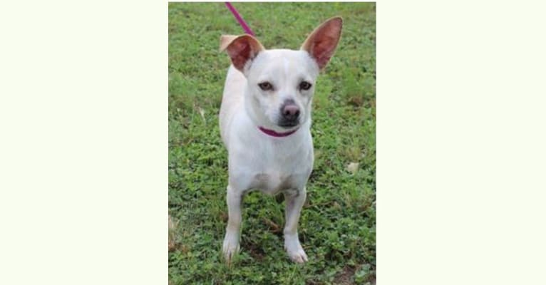 Photo of Olaf, a Chihuahua (10.0% unresolved) in San Antonio, Texas, USA