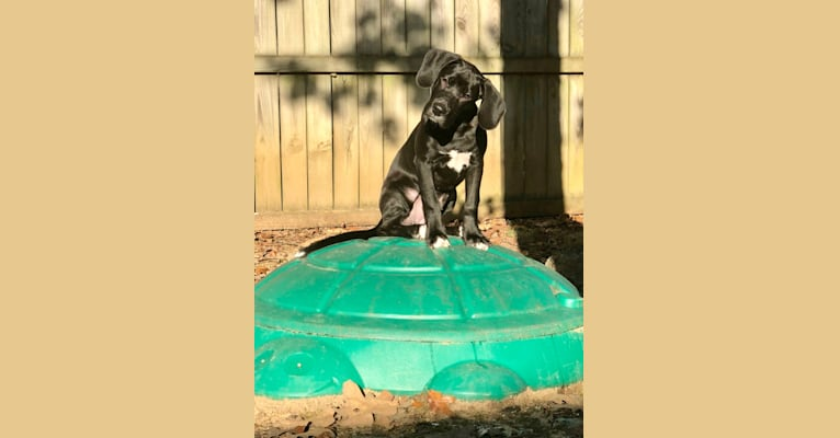Photo of Juice, an American Pit Bull Terrier, Boxer, and Beagle mix in Jacksonville, Arkansas, USA