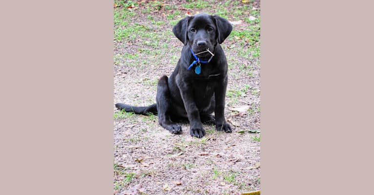 Photo of Rue, a Labrador Retriever, German Shepherd Dog, Golden Retriever, Chow Chow, and Mixed mix in Tallahassee, FL, USA