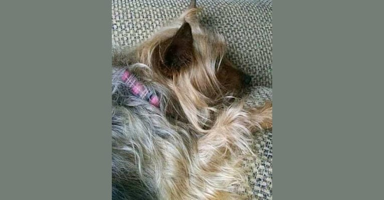 Photo of Ella, a Silky Terrier  in Ripon, Wisconsin, USA