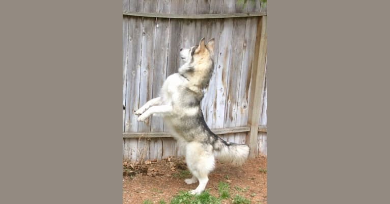 Photo of Beowulf, an Alaskan Malamute and Siberian Husky mix in Arlee, Montana, USA
