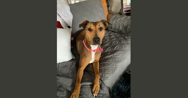 Photo of Winter, a Doberman Pinscher, American Pit Bull Terrier, and American Staffordshire Terrier mix in Minnesota, USA