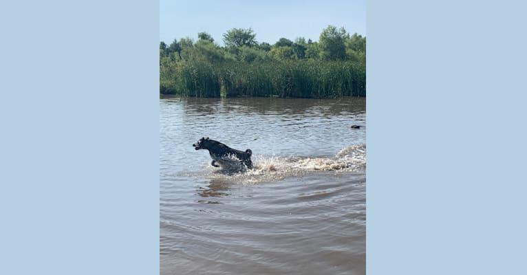 Photo of Ella, an American Bulldog, Labrador Retriever, Chinese Shar-Pei, and Siberian Husky mix in Green Bay, Wisconsin, USA