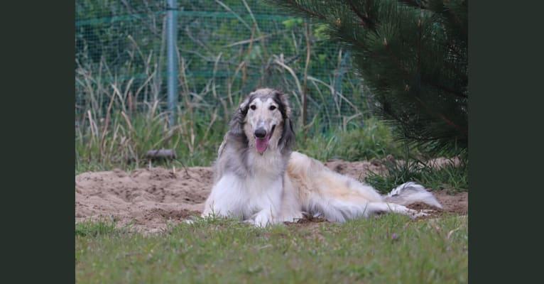 Photo of Lira, a Borzoi  in Russia