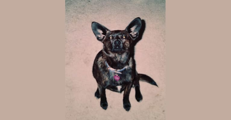 Photo of Harley, a Chihuahua, Rat Terrier, and Boston Terrier mix