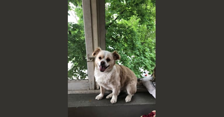 Photo of Ziggy, a Chihuahua, Pekingese, Pug, and Boston Terrier mix in Alabama, USA
