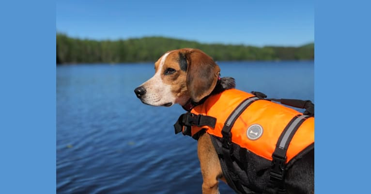 Photo of Argos, a Beagle  in Indian Lake, New York, USA