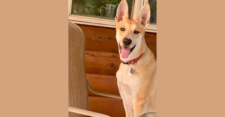 Photo of Oliver Phoenix Rogers, a Carolina Dog  in Aiken, SC, USA