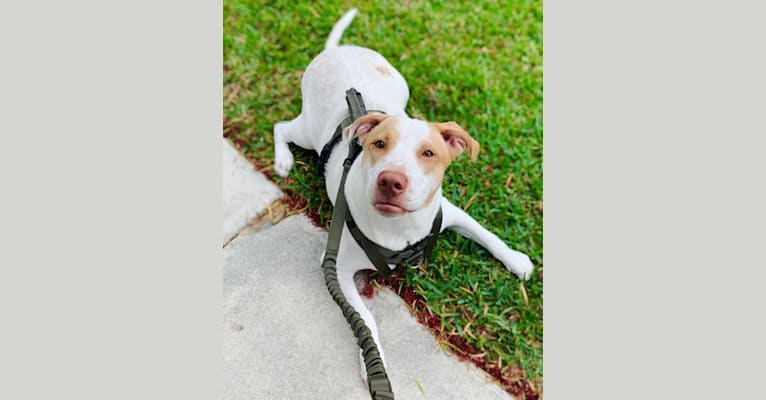 Photo of Casper, an American Pit Bull Terrier, Labrador Retriever, and Mixed mix in Loxahatchee, FL, USA