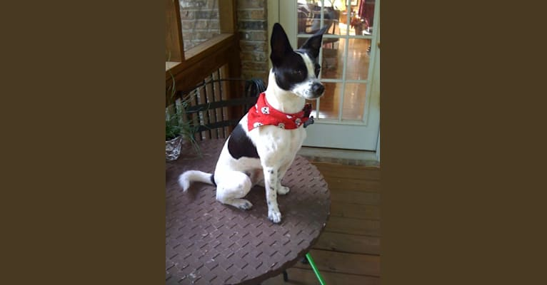 Photo of Tessa, a Poodle (Small), American Pit Bull Terrier, and Mixed mix in Alabama, USA