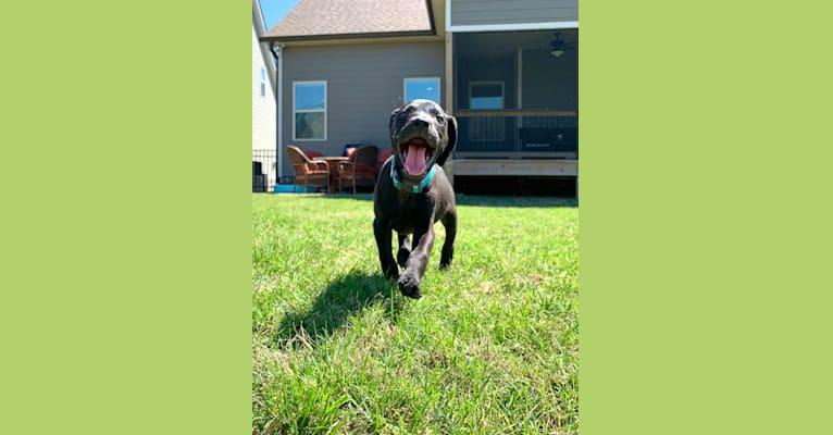 Photo of Kaya, a Weimaraner, Labrador Retriever, Boston Terrier, and Mixed mix in Dayton, Tennessee, USA