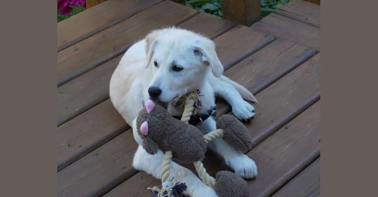 Photo of Little Bear, a Golden Retriever, Siberian Husky, and Labrador Retriever mix