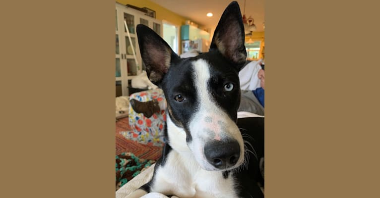 Photo of Charley, a Siberian Husky and American Pit Bull Terrier mix in Troy, Missouri, USA