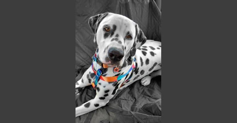 Photo of Wrangler, a Dalmatian  in Dalton, OH, USA