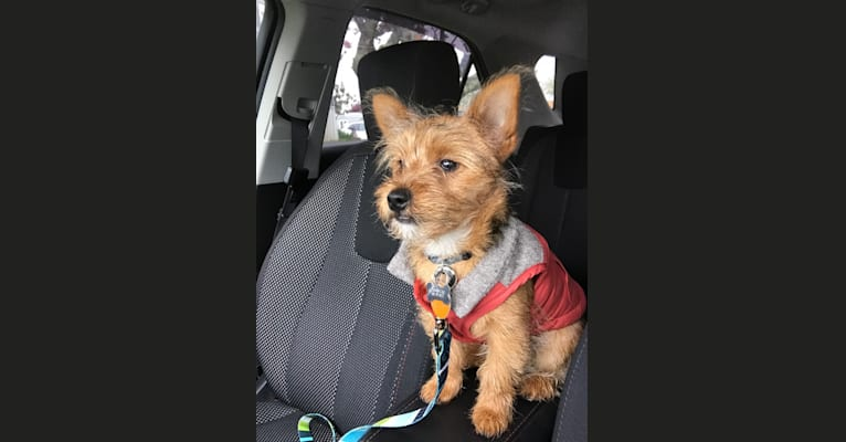 Photo of Scrappy, a Silky Terrier and Pomeranian mix in Portsmouth, Rhode Island, USA